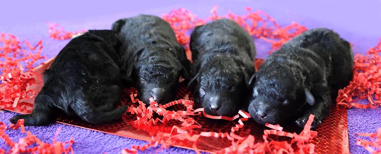Puppies-01