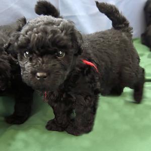 Puppies-30